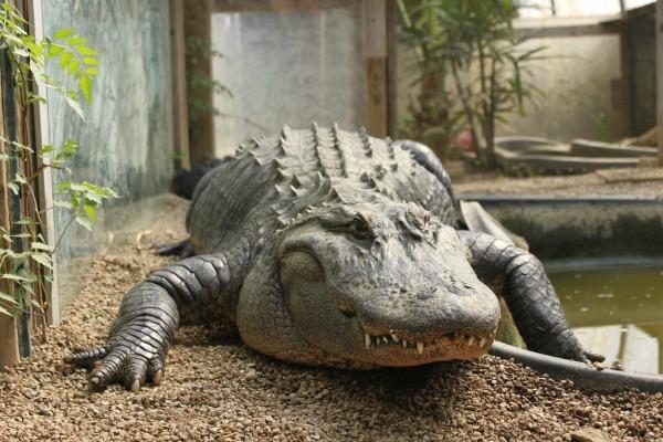 godzilla-gator